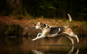 Picture background, dog, Beagle