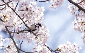 Picture cherry, tree, bird, spring, Sakura, tit