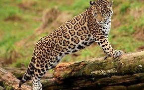 Picture face, paws, Jaguar, log, is, looks, jaguar, young, panthera onca, spotted cat
