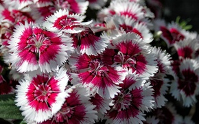 Picture paint, petals, garden, flowerbed, Chinese carnation