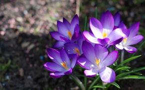 Picture macro, flowers, nature, bouquet, spring, primrose, Crocuses