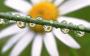 Wallpaper drops, flowers, Daisy, Daisies in the Dewdrops
