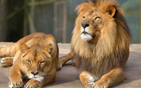 Picture cat, look, stay, Leo, pair, lioness