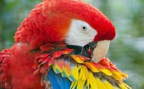 Wallpaper feathers, Ara, parrot