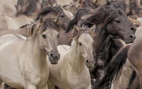 Picture horses, horse, the herd, Wild horses