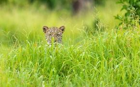Wallpaper grass, leopard, Africa, green season