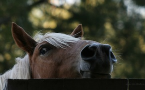 Picture photo, tree, horse, the fence