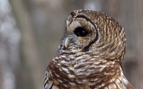 Picture Strix Varia, a barred owl, grey, background, Barred Owl, owl, profile, bird, glare