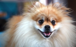 Picture photo, brown, dog, cute, german, MMaglica photo, MMaglica, spitz, small