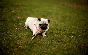 Picture grass, the game, dog, pug