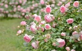 Wallpaper Bush, roses, pink