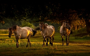 Picture light, nature, horses, morning