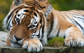 Picture cat, look, reverie, tiger, predator