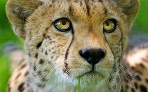 Picture cat, look, face, predator, Cheetah