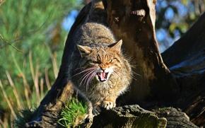 Picture face, wild cat, Scottish, The Scottish Wildcat