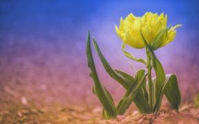 Picture background, Tulip, bokeh, yellow Tulip