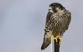 Picture look, Bird, profile, grey background, peregrine
