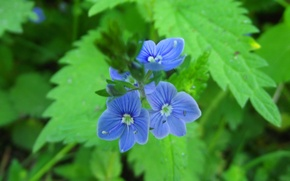 Picture Macro, Flowers, Blue