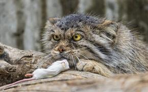 Picture cat, look, mouse, manul, ©Tambako The Jaguar