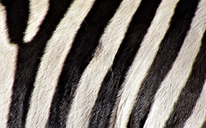 Picture strip, b/W, Zebra, color, cover