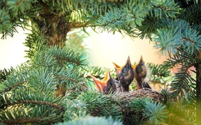 Picture spruce, socket, Chicks