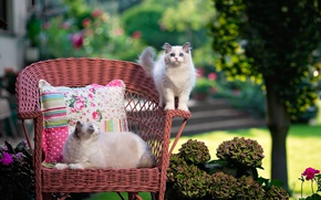 Picture cat, summer, cats, flowers, nature, kitty, chair, fluffy, garden, pillow, walk, cutie, mom, child, blue-eyed, …