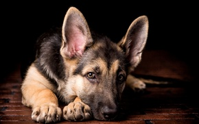 Picture look, dog, paws, puppy, lies, ears, shepherd