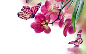 Picture butterfly, flowers, Orchid, pink, water, flowers, beautiful, orchid, reflection, butterflies