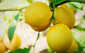 Picture leaves, branches, droplets, lemon, the fruit, dewdrops