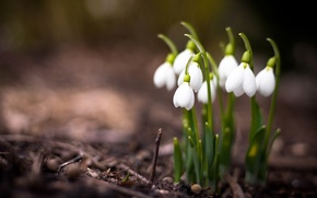 Picture macro, flowers, nature, photo, plants, spring, snowdrops