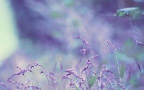 Picture bokeh, bokeh, lavender, flower, lavender