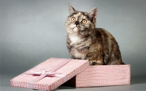 Picture cat, look, box, gift