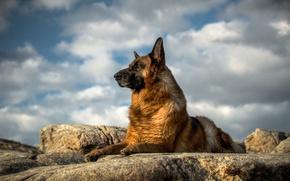 Picture look, dog, German shepherd