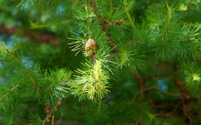 Picture trees, needles, Spruce, bumps