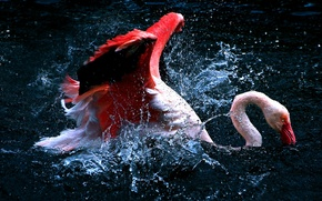 Picture water, squirt, bird, Flamingo