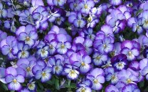 Wallpaper viola, petals, Pansy, macro
