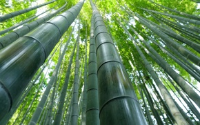 Wallpaper bamboo, texture, plant
