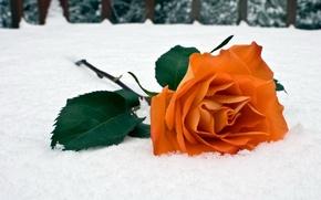 Wallpaper winter, snow, rose