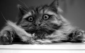 Picture cat, eyes, wool, Koshak