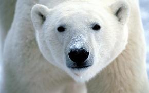 Wallpaper bear, face, White