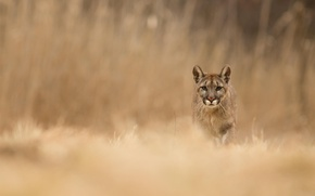 Picture grass, nature, animal, predator, Puma