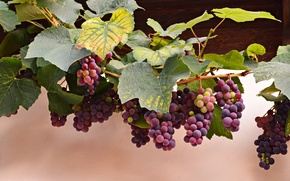 Picture autumn, leaves, red, berries, grapes, vine, bunches