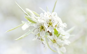 Picture flowers, macro, branch, nature, white, leaves, tree, petals, flowering, spring