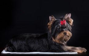 Picture bow, York, Terrier