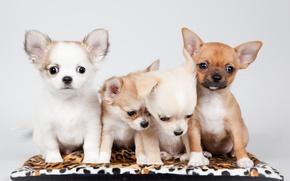 Picture puppies, kids, Chihuahua, Quartet