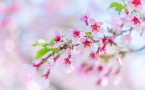 Picture pink, branch, spring, Sakura