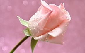 Picture flower, water, drops, light, Rosa, rose, petals, Bud, Blik
