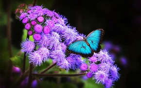 Picture flowers, butterfly, blue, morpho