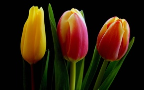 Picture leaves, macro, background, petals, tulips