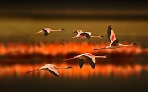 Wallpaper Flamingo, Tanzania, Africa, birds